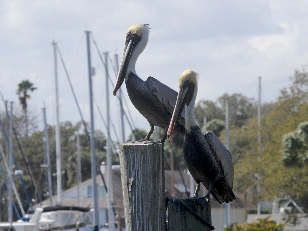 2 pelicans 2021-02-21.jpg
