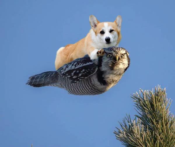 Cool Corgi Angry Owl.jpg