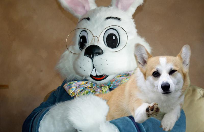 Cool Corgi Easter Bunny.jpg