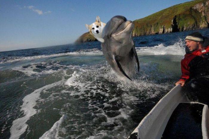 Cool Corgi Riding Dolphin.jpg