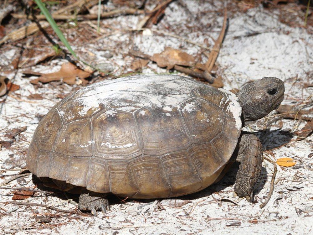 gopher tortoise 2021-05-09-01.jpg