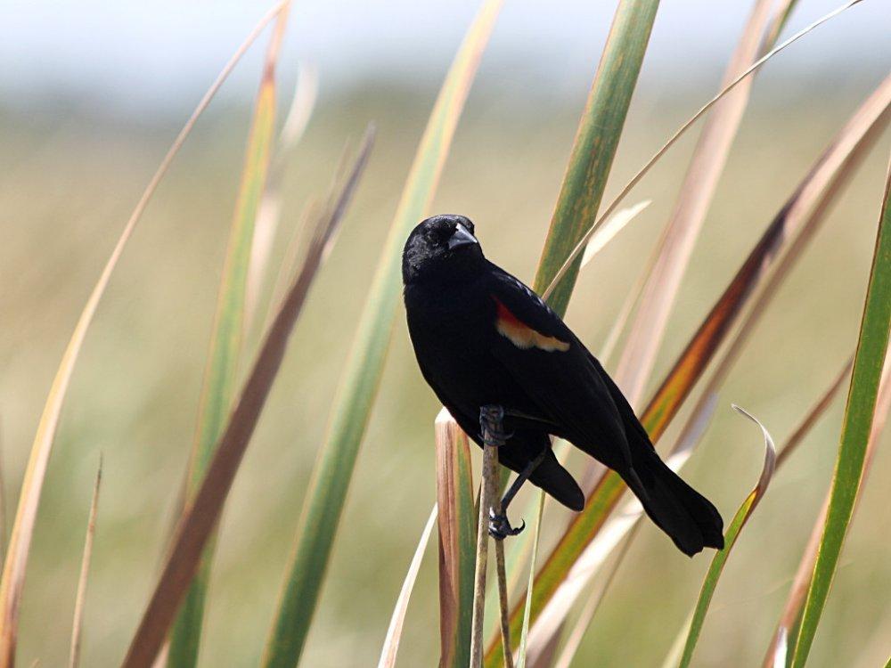 redwing blackbird 2021-03-26-01.jpg